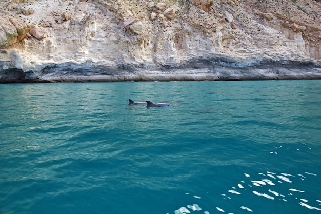 The dolphin in shuab bay on socotra island, indian ocean, yemen