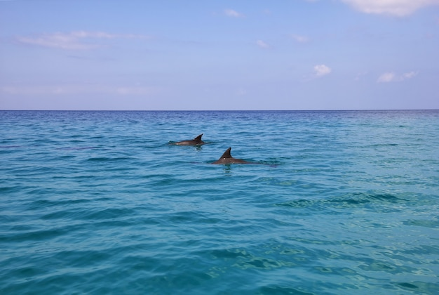 The dolphin in shuab bay on socotra island Premium Photo