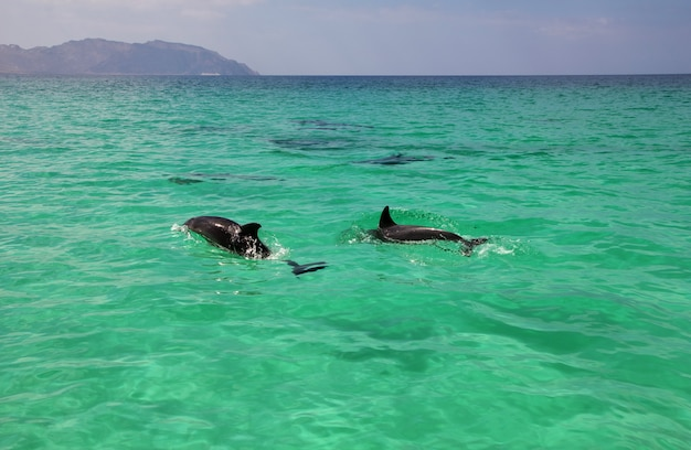 The dolphin in shuab bay on socotra island