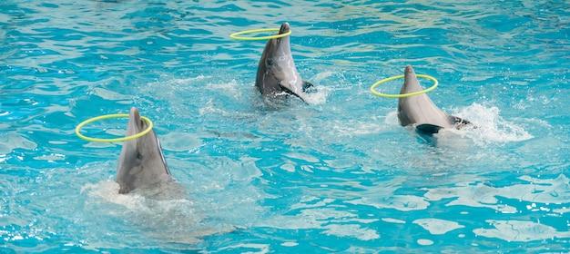 Дельфин прядильный обруч в бассейне, презентация шоу дельфинов в голубой воде в аквариуме.