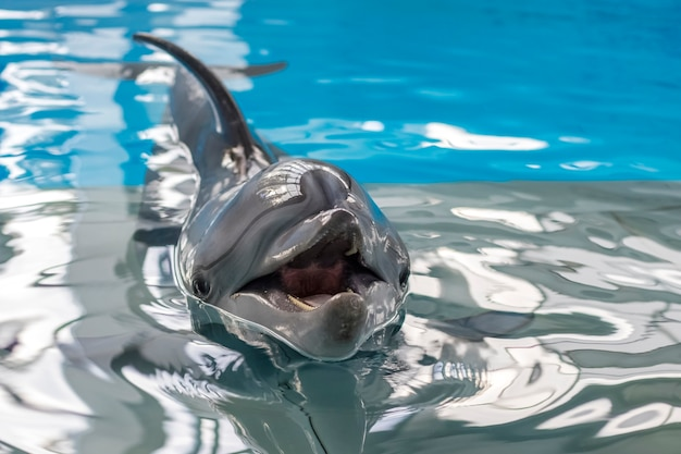 Dolphin swimming in the clear blue water of the pool. copy space. close up
