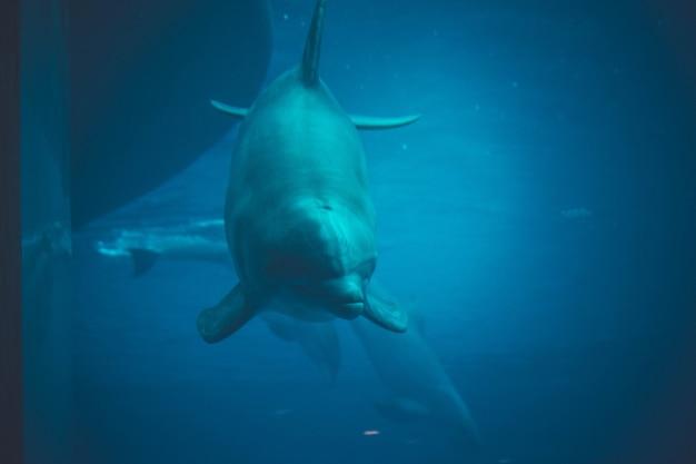 プールで泳ぐイルカ