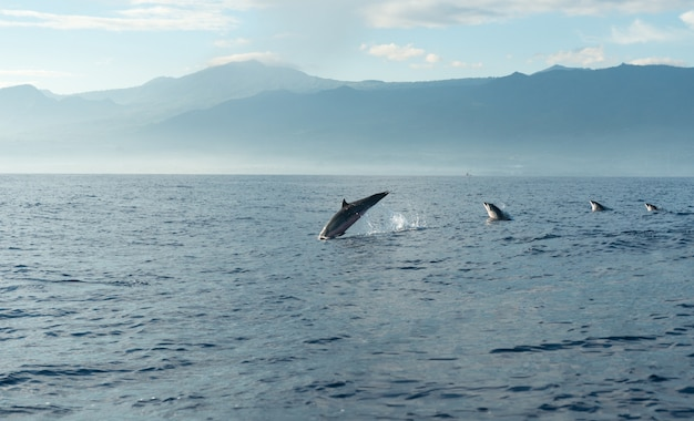 Dolphins in pacific ocean
