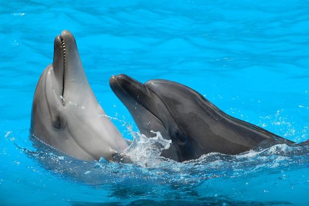 プールのクローズアップで泳ぐイルカ。 2頭のイルカの踊りi
