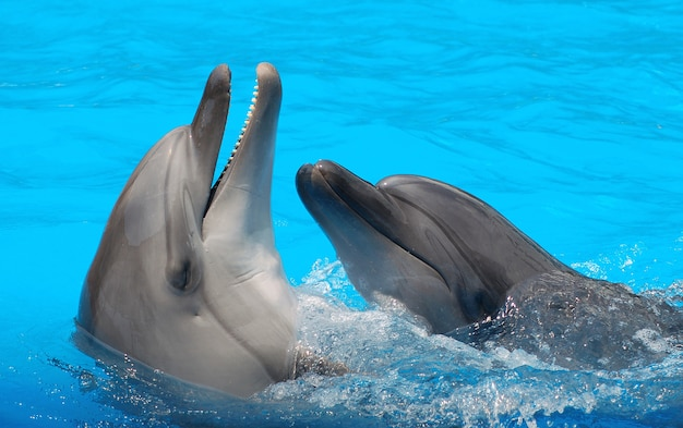 プールのクローズアップで泳ぐイルカ。プールで2頭のイルカが踊る。イルカの笑顔