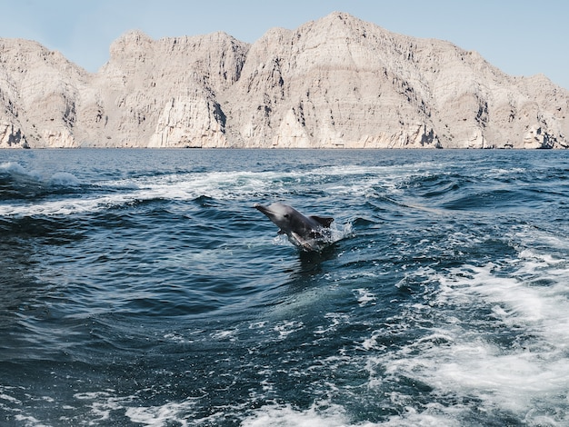 Dolphins swimming in the sea waves. oman fjords