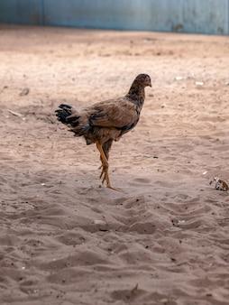 Gallus gallus domesticus 아종의 가축 닭