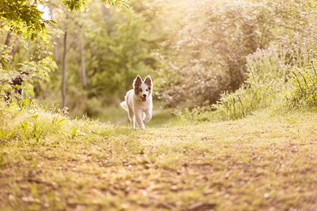 家畜ペットは夢の背景で幸せに遊ぶ美しい血統ボーダーコリーランニング