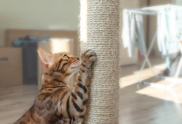 갈색 게시물을 긁는 국내 벵골 고양이.