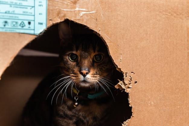 Домашняя бенгальская кошка сидит в картонной коробке и выглядывает из нее.