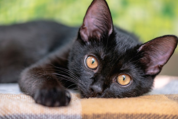 Domestic black cat on a bench in front. face cute young cat at home