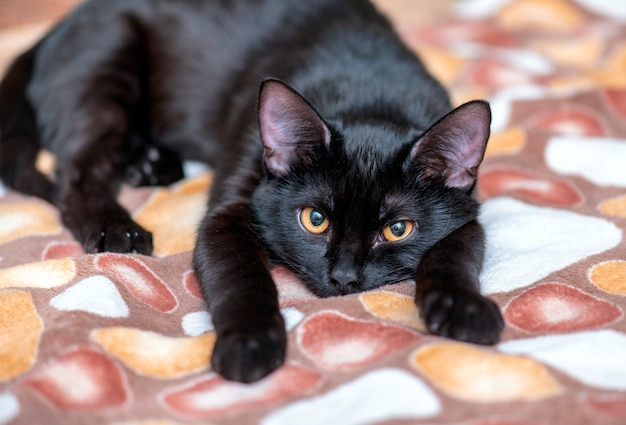 Domestic black cat looking and lying on the bed. portrait of black cat at home