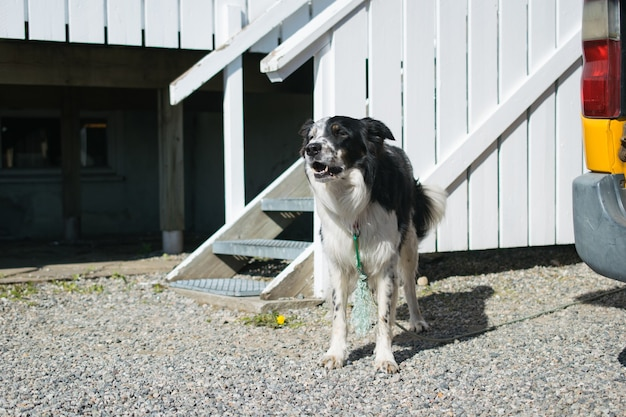 Domestic black and white dog standing in front of its kennel