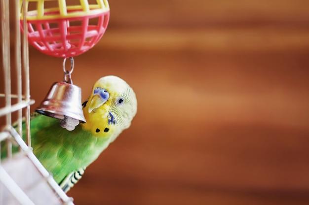 Домашний волнистый попугайчик сидит со своим игрушечным другом.