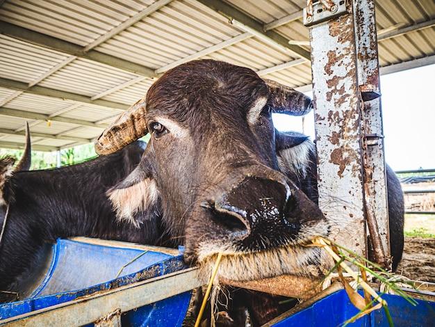 Domestic buffalo on a farm under the shade