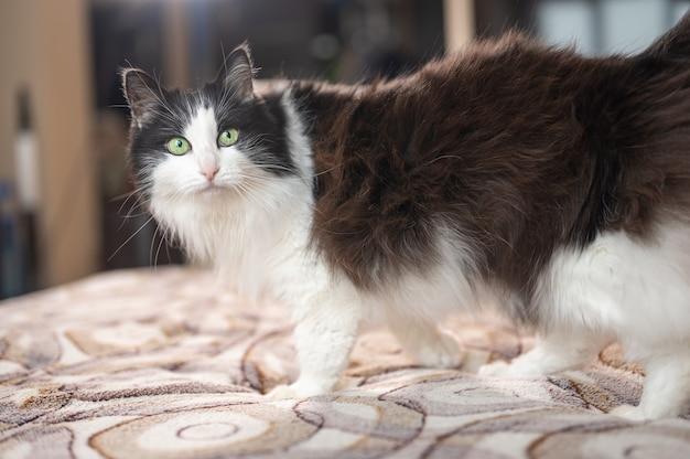 飼い猫の黒と白の色のフェリックスは、屋内の緑の目でおなじみの生息地で自宅で