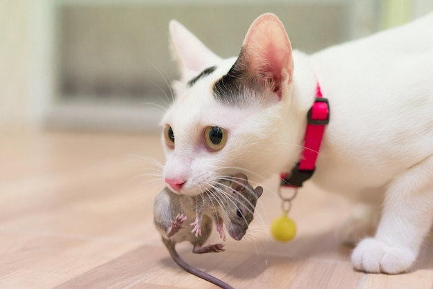 Domestic cat carrying small rodent rat  in house, white cat catching a mouse.