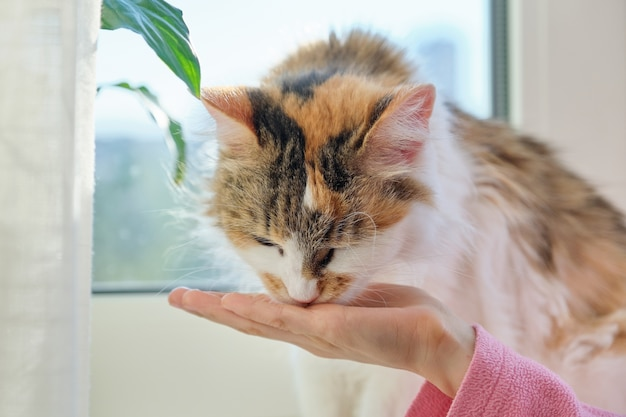 Domestic cat eats dry food from the hands of a hild girl