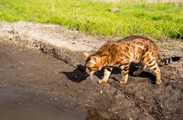 Домашняя кошка на прогулке в поле, стоит и смотрит на лужу