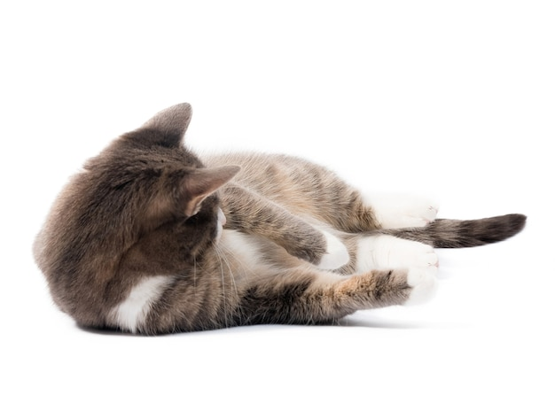 Domestic cat isolated on white surface.
