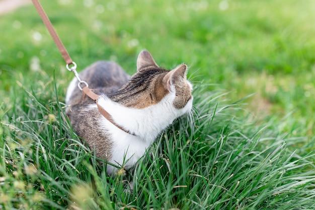 Домашняя кошка на поводке гуляет на улице в траве