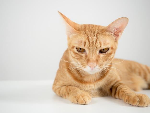Домашняя кошка оранжевого цвета, лежащая на столе на белом фоне