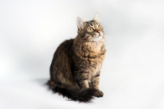 Домашняя кошка сидит на белом фоне и смотрит вверх