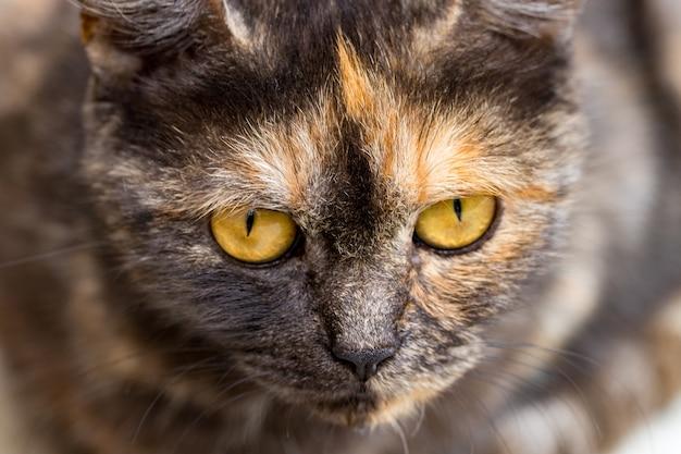 Домашняя кошка смотрит в камеру, крупным планом