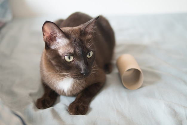 Domestic chocolate kitten cat is playing by scratching and bites brown tissue paper roll on bed very concentrate and fun with nails