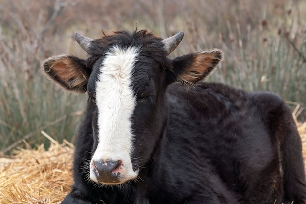 Domestic cow, head close up