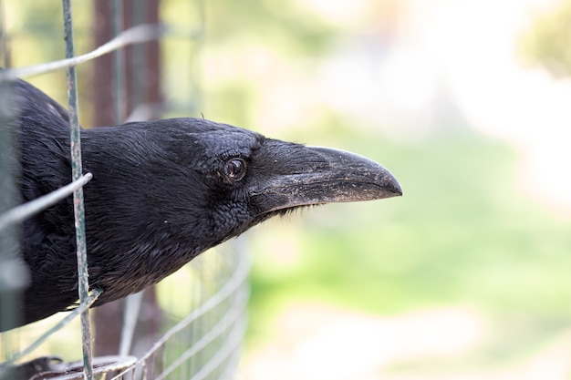 A domestic crow looks out of its cage. close up. macro mode.