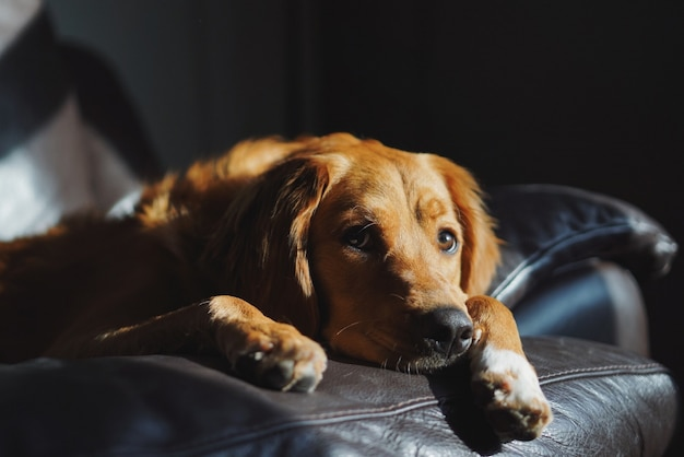 Domestic cute golden retriever laying on the couch in a dark room