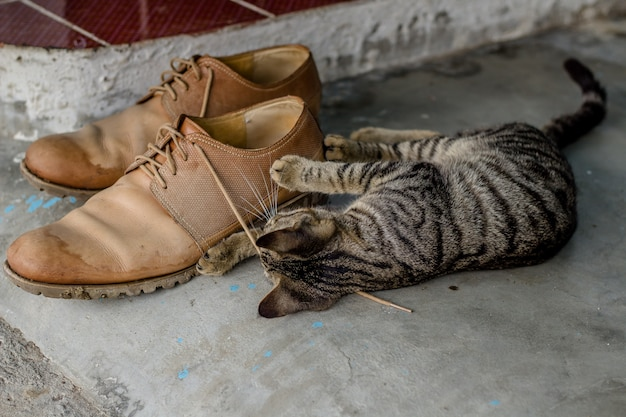 Domestic cute kitten playing with shoelaces