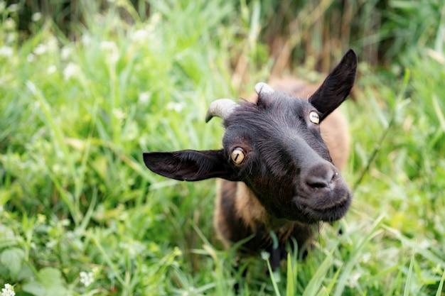 Домашняя темно-коричневая коза без рогов гуляет на пастбище