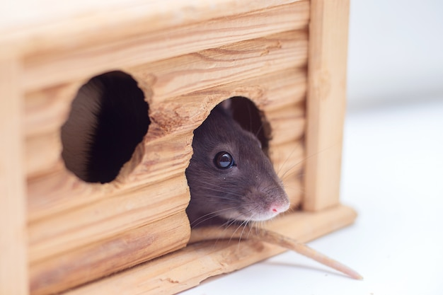 The domestic decorative rat looks out of the wooden lodge