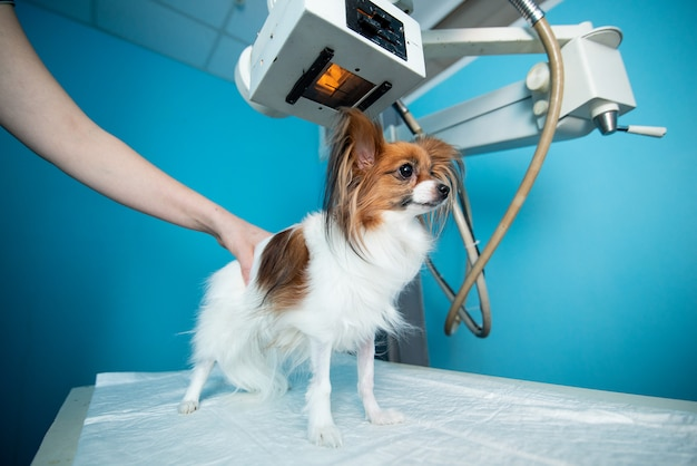 The domestic dog stands on the table under the xray machine.