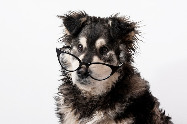 Domestic dog with glasses