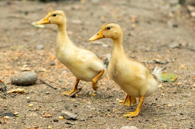 Domestic ducklings in a rural yard, domestic birds
