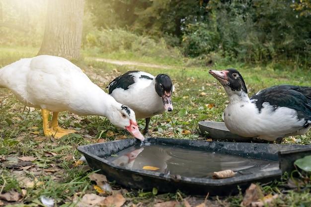 Domestic ducks drink water in a meadow on a home farm