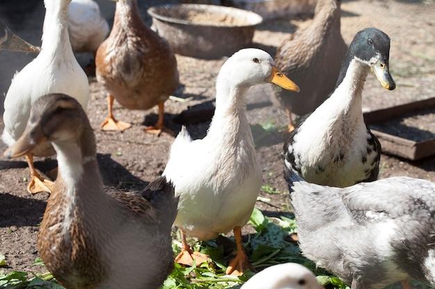 국내 오리는 화창한 날 농장에서 걷고 먹는다