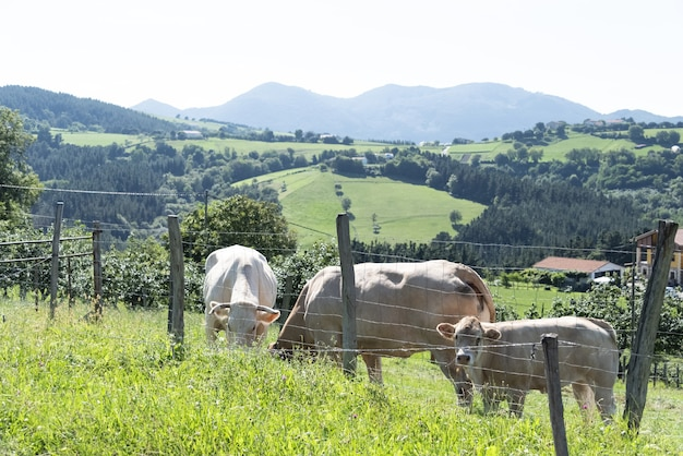 Domestic farm animals cows grazing in the countryside