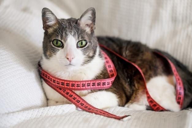 Домашняя толстая взрослая кошка с рулеткой дома