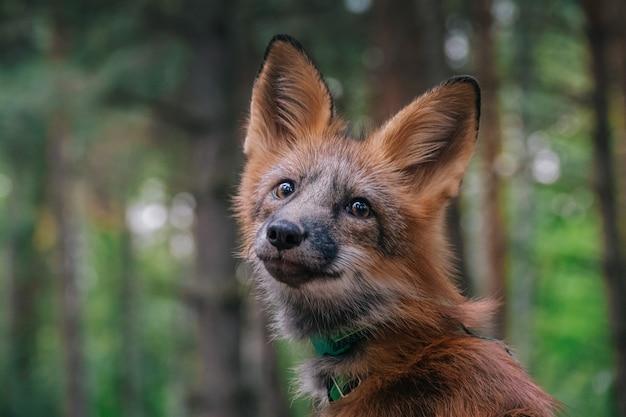 Домашняя лиса на прогулке в лесу красивая лиса крупным планом Premium Фотографии