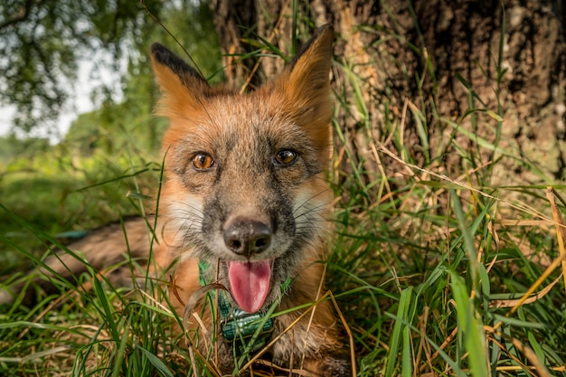 Домашняя лиса на прогулке в лесу красивая лиса крупным планом