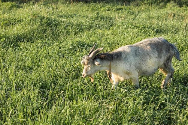 Domestic goat eating grass