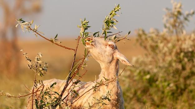 Домашняя коза ест листья с дерева. закройте вверх.
