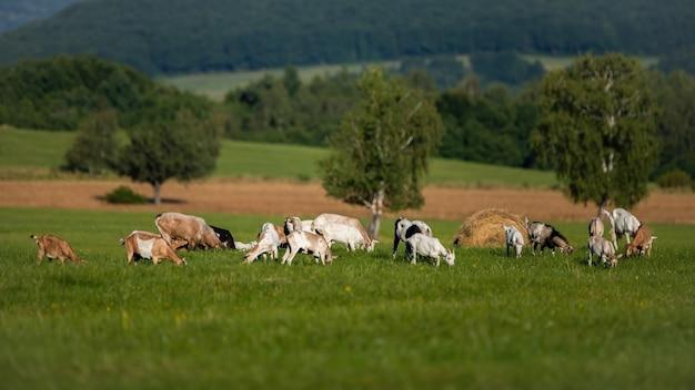 Домашние козы, пасущиеся на зеленом лугу возле биофермы летом.