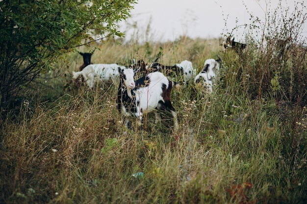 Domestic goats walking on the farm