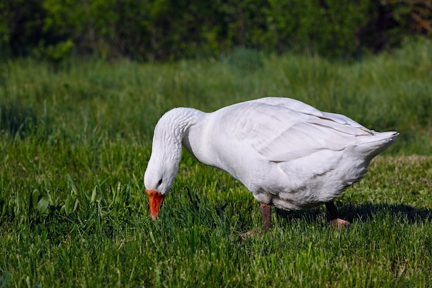 The domestic goose in the pasture eats fresh grass.