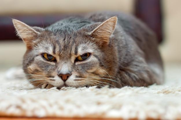 国産の灰色のぶち猫が床に横たわって目をそらしている
